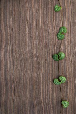 ebony wood: branch frame of Ceropegia Woodii on ebony wood texture