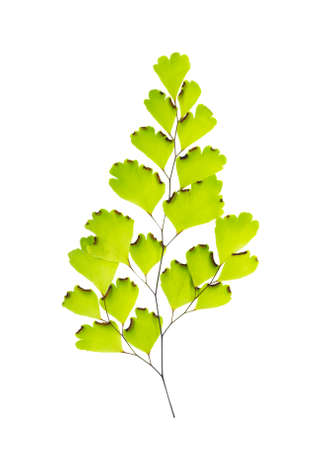 Maidenhair leaves is isolated on white background photo