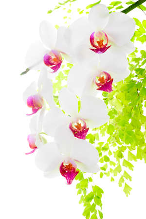 branch blooming red and white orchid with leaves fern,  isolated on white  background photo