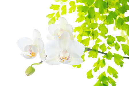 blooming white orchid with leaves fern,  isolated on white  background photo