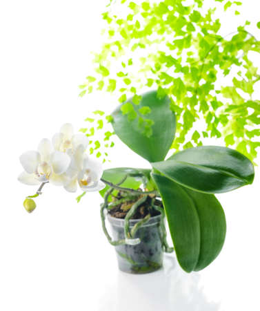 blooming white orchid in flowerpot with leaves fern,  isolated on white  background photo