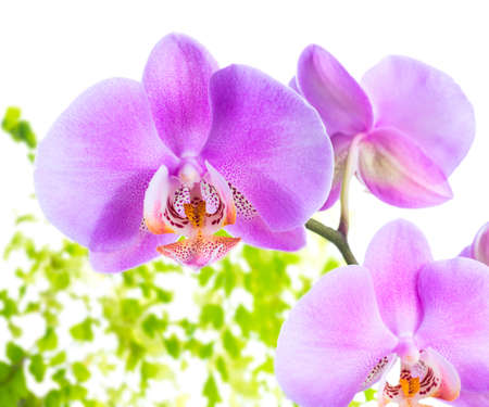 blooming lilac  orchid with leaves fern,  isolated on white  background photo