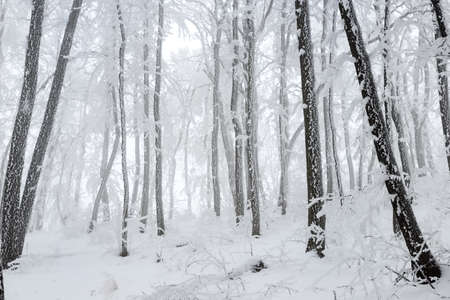 The Christmas mysterious winter snowy forest  photo