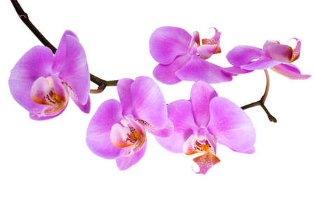 branch blooming lilac orchid with is  isolated on white  photo