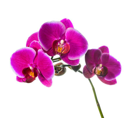 Blooming lilac orchid with bandlet isolated, white background photo