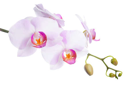 Blooming beautiful lilac orchid is isolated on white background photo