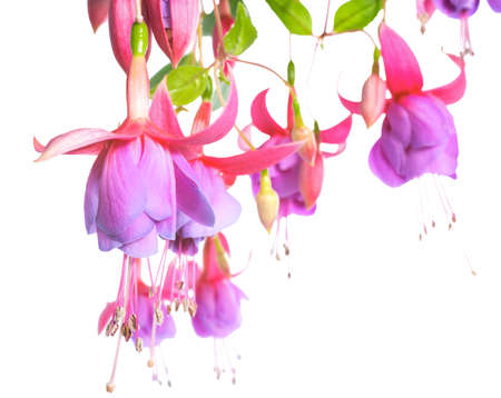pedicel: blossoming beautiful pink with a lilac fuchsia is isolated on white  background