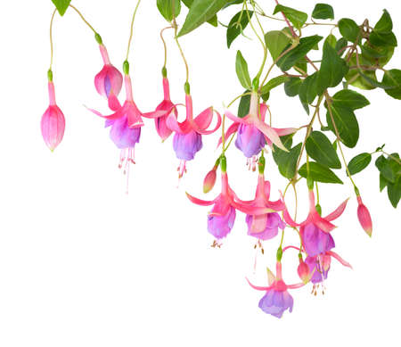 fuchsias: blossoming branch lilac of a fuchsia, isolated on white background