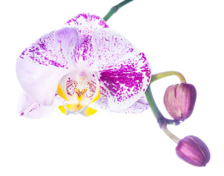 lilac orchid isolated with bud, on a white background photo