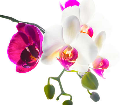 Blooming purple and white  orchid isolated on white background photo