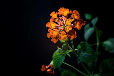 lantana camara: orange Lantana Flowers camara, black background