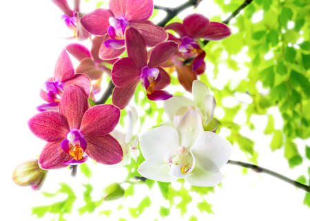white with red   phalaenopsis with green leaves is isolated on white background photo