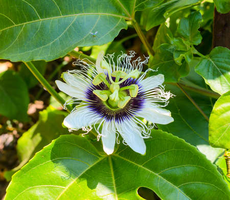 passionflower: passionflower on a leaf with insect in the nature  Stock Photo