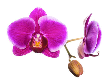 branch purple orchid isolated on white  photo