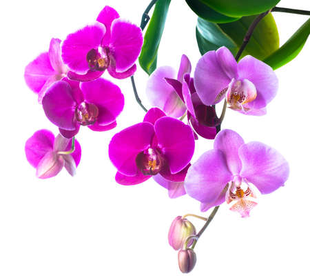 fuchsias: Blooming purple and soft lilac orchid is isolated on white
