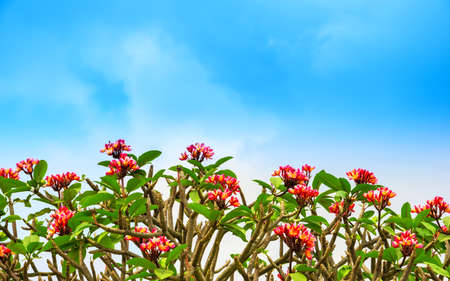 flowers Adenium on the blue skу background Stock Photo - 26508625