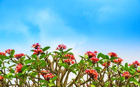 flowers Adenium on the blue skу background Stock Photo - 26508625