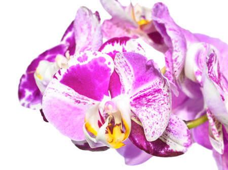 unusual white with purple  flowers of orchid,   phalaenopsis is isolated on white background photo