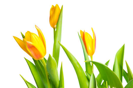 spring yellow Tulips flower colorful is isolated on white background  photo