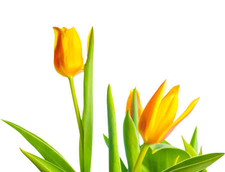 yellow Tulips flower is isolated on white background  photo