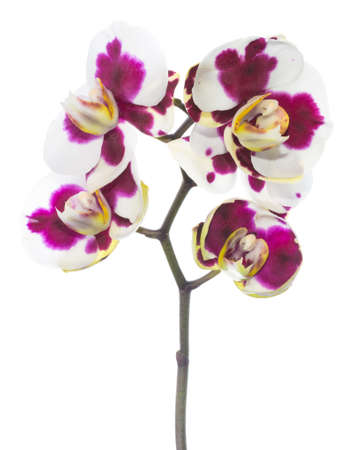 fuchsias: Blooming beautiful motley with spots lilac orchid flower, phalaenopsis is isolated on white background