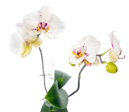 fuchsias: Blooming beautiful white motley with lilac orchid flower, phalaenopsis is isolated on white background