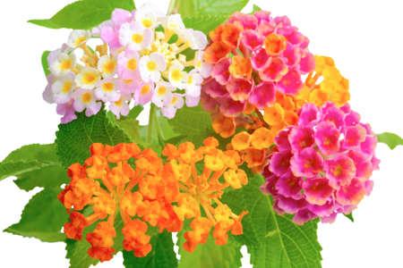 prachtige kleurrijke van Lantana camara bloem met druppels is geïsoleerd op een witte achtergrond, close-up