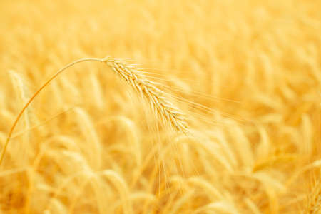 wheat spike on a gold blurred background photo