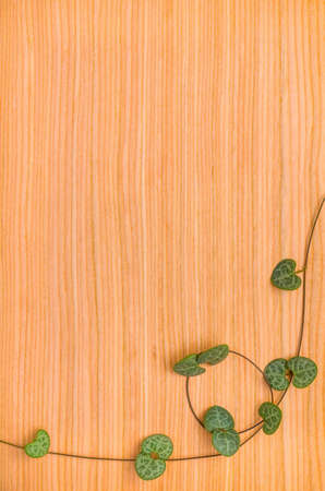 twisted tendril Ceropegia Woodii on wooden background photo