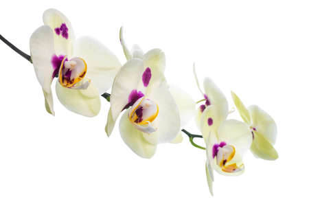 fuchsias: Branch of blooming beautiful yellow with lilac spotted orchid flower, phalaenopsis is isolated on white background  Stock Photo