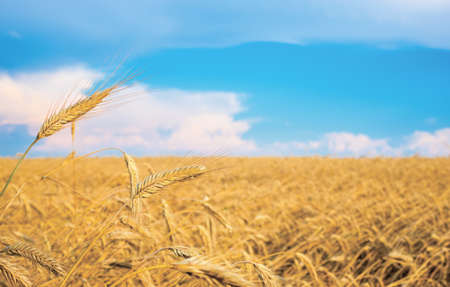 wheat spike on a gold blurred background with blue sky  photo