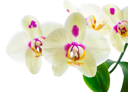 Branch of blooming yellow with lilac spots orchid flower, phalaenopsis is isolated on white background, closeup photo