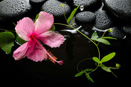 zen stones: spa concept  of  blooming pink hibiscus, green tendril passionflower and zen stones with drops, reflection on water, closeup Stock Photo