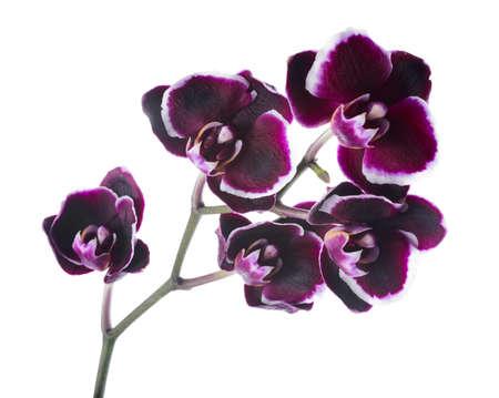 Tak van bloeiende mooie donkere kersen met witte rand orchidee, wordt phalaenopsis op een witte achtergrond
