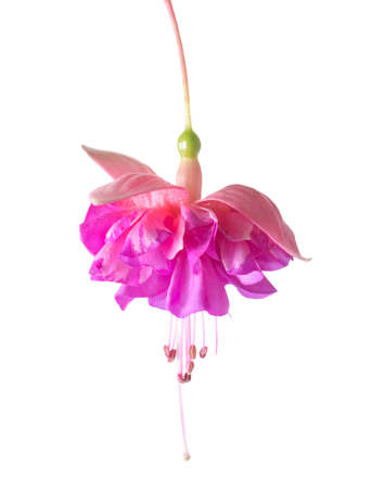 pedicel: blossoming beautiful colorful fuchsia, isolated on white background, `Kathys Sparkler`