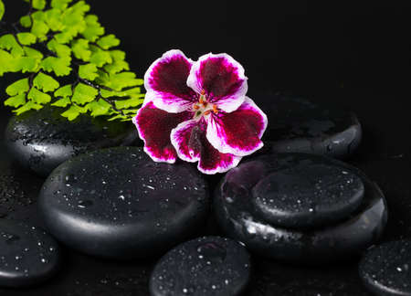 Spa concept with beautiful deep purple flower of geranium, green branch and zen stones with drops closeup photo