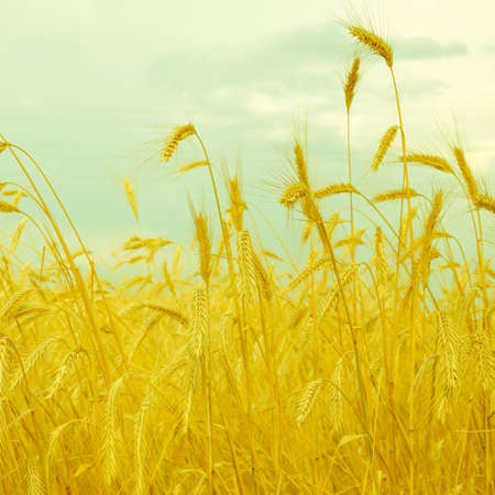 wheat spike on a gold blurred background, vintage style  photo