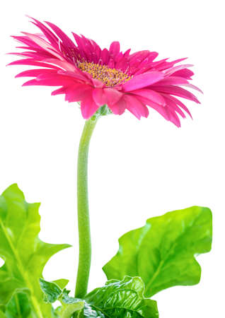 blooming pink flower gerbera  is isolated on white background, closeup Stock Photo - 31779288