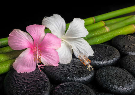 spa concept of zen basalt stones, white and pink hibiscus flower on natural bamboo with drops, closeup  photo