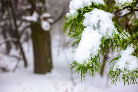 covered Christmas fir branch with snow and drops in winter forest photo