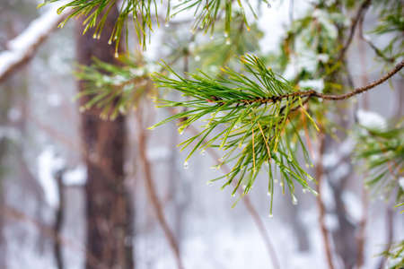 natural Christmas fir branch with drops in winter forest, closeup photo