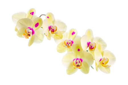 Branch of blooming beautiful yellow with purple spots orchid flower, phalaenopsis is isolated on white background, closeup photo