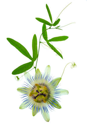 beautiful closeup of green passionflower branch with tendrils and flower head is isolated on white backgroundn white background photo