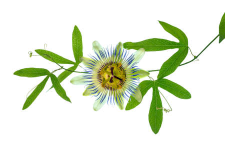 closeup of green passionflower branch with tendrils and flower head is isolated on white backgroundn white background photo