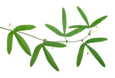 close-up van mooie groene passiebloem tak met ranken is geïsoleerd op een witte achtergrond Stockfoto