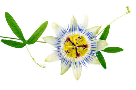 beautiful closeup of green passionflower branch and flower head is isolated on white background photo