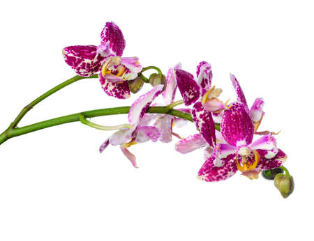 pyloric: Blooming twig purple pyloric spotted with bud orchid, phalaenopsis is isolated on white background, closeup