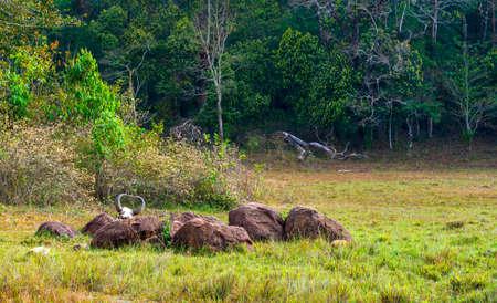 periyar: Rainforest National park Periyar Wildlife Sancturary. Gaur (Indian bison) skull with horns and bones, Kumily, Kerala, India Stock Photo