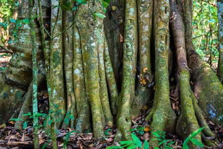periyar: Big tree roots or stems in rainforest National park Periyar Wildlife Sancturary, India