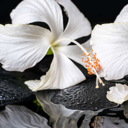 Beautiful spa concept of two delicate white hibiscus, zen stones with drops on ripple water, closeup photo